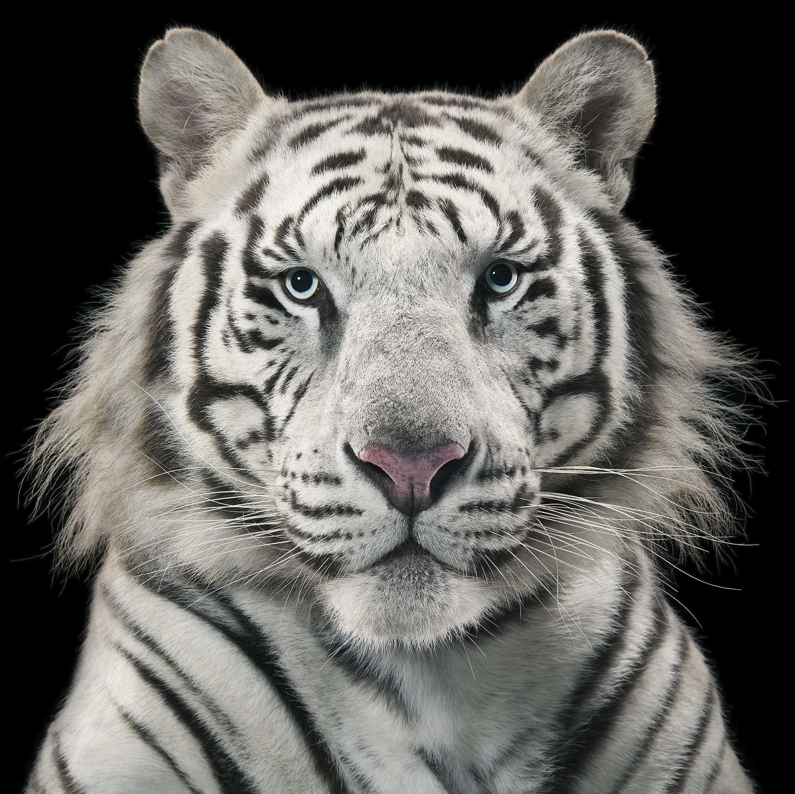 Royal_Tiger-1600x1597