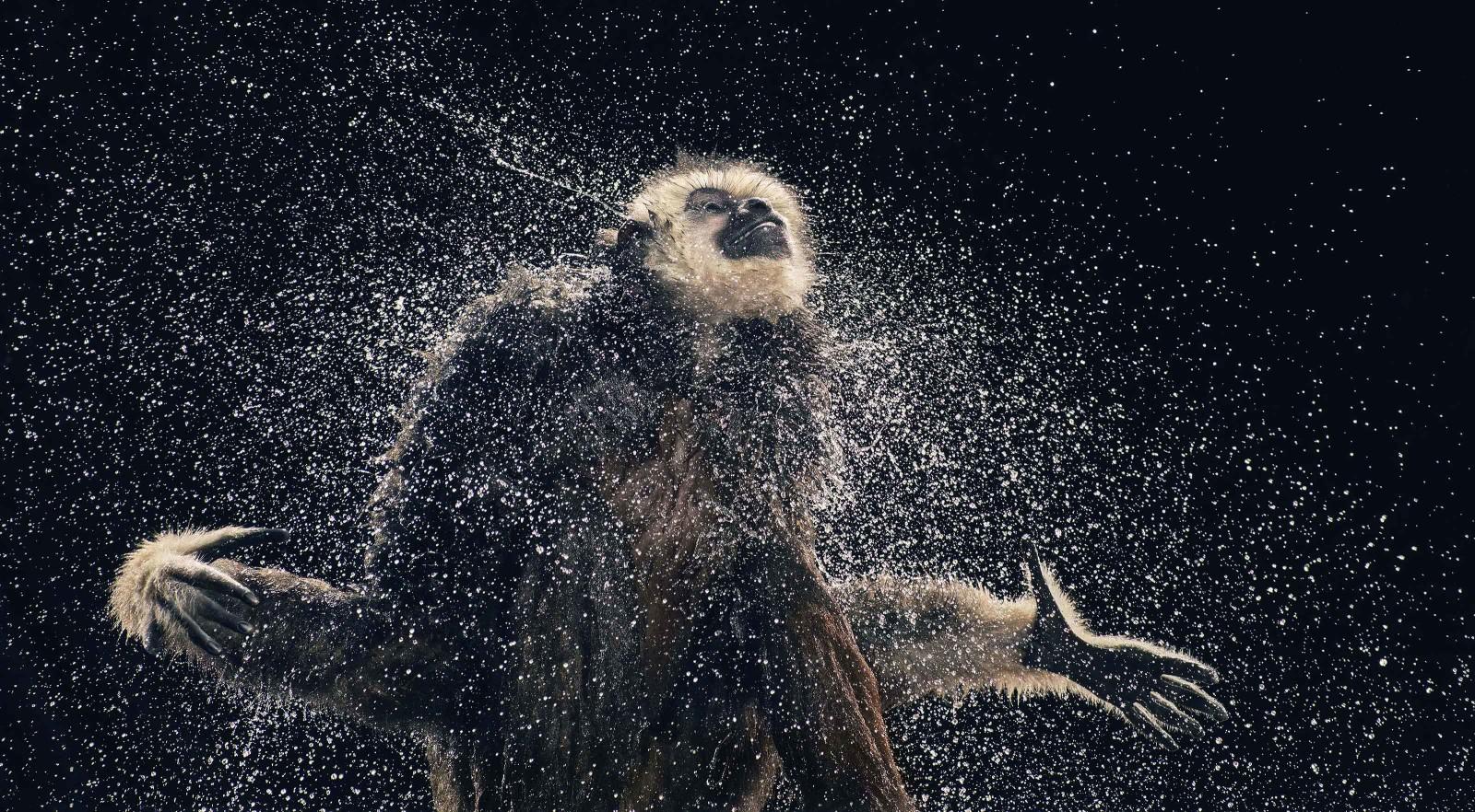 gibbon-shaking1-1600x882