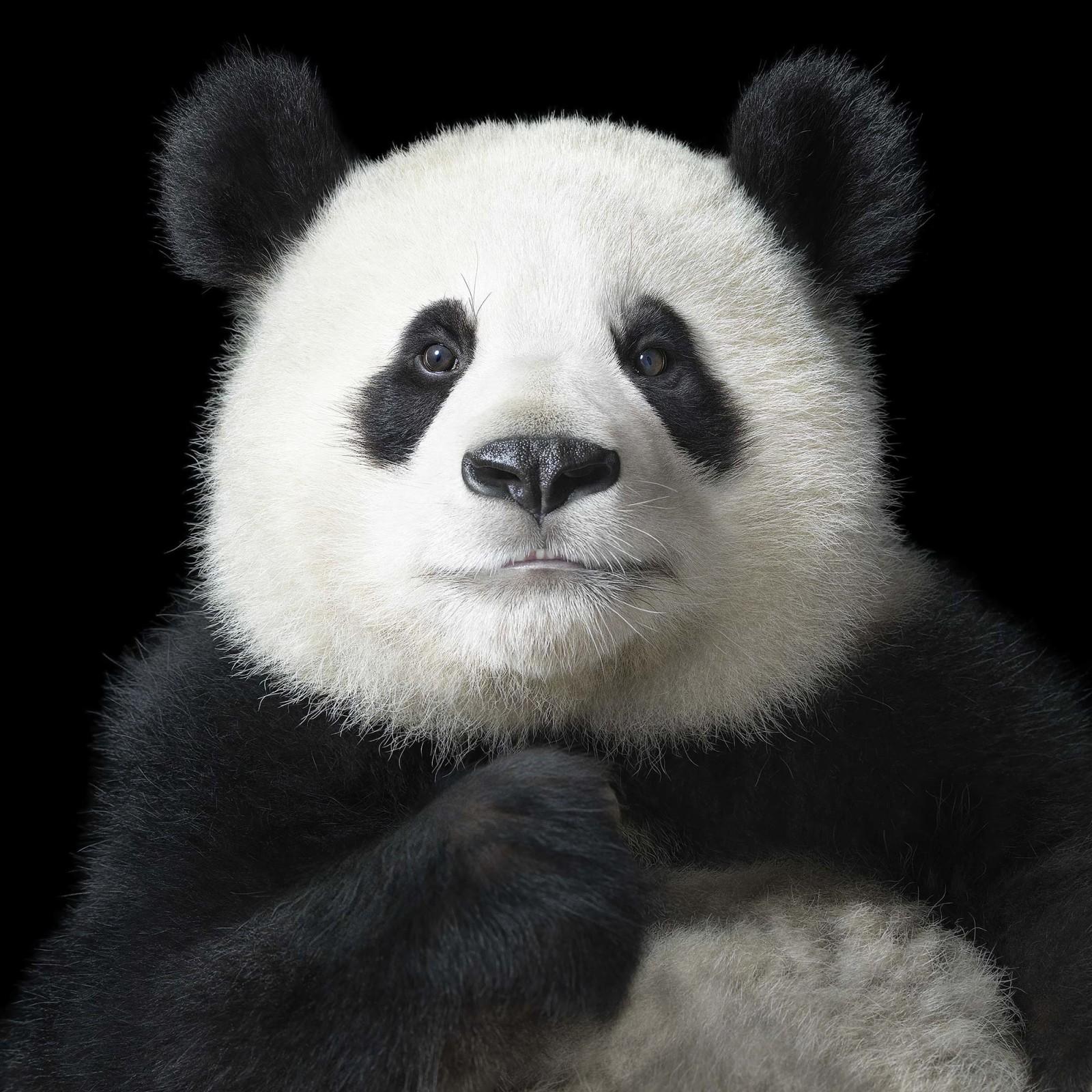 panda-1600x1600